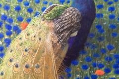 Blauwe Pauw in korenbloemveld